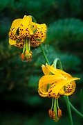 Columbine lilies in Washington state's Olympic National Park