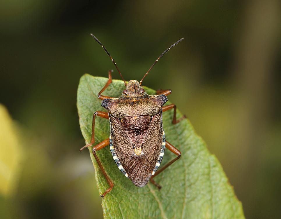 Forest Bug - Pentatoma rufipes