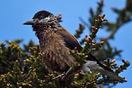 Eurasian Spotted Nutcracker bird, Nucifraga caryocatactes, Chinese race, sitting on a branch, Beiyue Hengshan Mountain, Datong, Hunyuan County, Shanxi Province, China