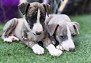 two pedigree Whippet‎ Puppies on the grass