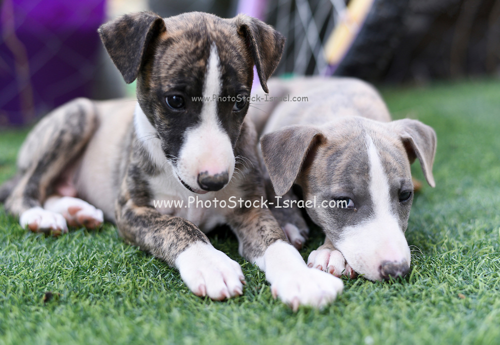 two pedigree Whippet Puppies on the grass