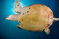 Hawskbill Sea Turtle and Sunburst