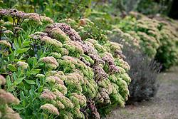 Hylotelephium (Herbstfreude Group) 'Herbstfreude' syn. Sedum spectabile 'Autumn Joy' AGM