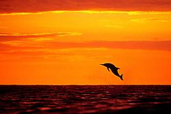 spinner dolphin, leaping at sunset, Stenella longirostris, Kona, Big Island, Hawaii, Pacific Ocean