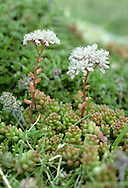 WHITE STONECROP Sedum album (Crassulaceae) Height to 15cm. Mat-forming, evergreen perennial of rocky ground and old walls. FLOWERS are star-shaped, 6-9mm across, white above but often pinkish below; in terminal clusters (Jun-Sep). FRUITS are dry and splitting. LEAVES are 6-12mm long, fleshy, shiny and green or reddish. STATUS-Local, mainly in SW England and often naturalised elsewhere.