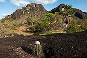 Cactus in Orinoco River Basin, 110 Km north of Puerto Ayacucho. Apure Province, VENEZUELA. South America.
