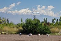 TRABAJADORES SEMBRANDO AJO EN UN CULTIVO, CORDON DEL PLATA AL FONDO, CAMPO LOS ANDES, SAN CARLOS, PROVINCIA DE MENDOZA, ARGENTINA