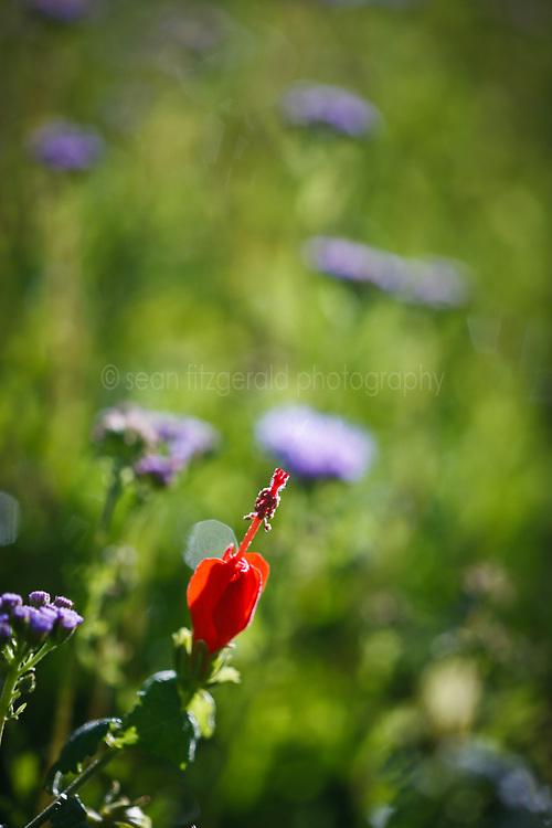 Turk's cap wildflower in butterfly garden, Trinity River Audubon Center, Great Trinity Forest, Dallas, Texas, USA