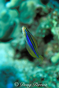 Hawaiian sabertooth blenny or Ewa blenny, <br /> Plagiotremus ewaensis , endemic to Hawaii, <br /> mimics cleaner wrasse & attacks larger fish, feeding on <br /> scales and mucus, Kona, Hawaii, USA ( Pacific )