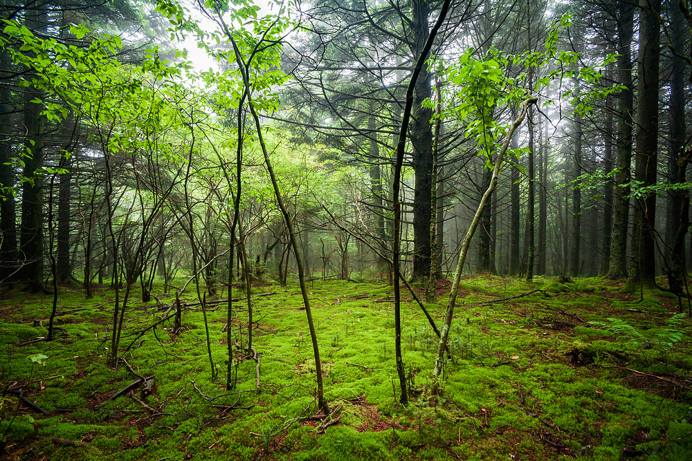 Emerald Forest, Beech and Spruce Forest, Unaka Mountain Summit