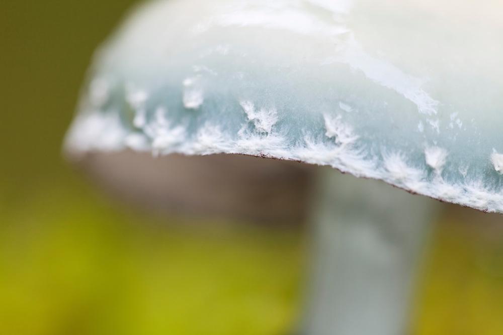 Ringed-blue Roundhead, Stropharia aeruginosa close-up, Fournols, Auvergne, France