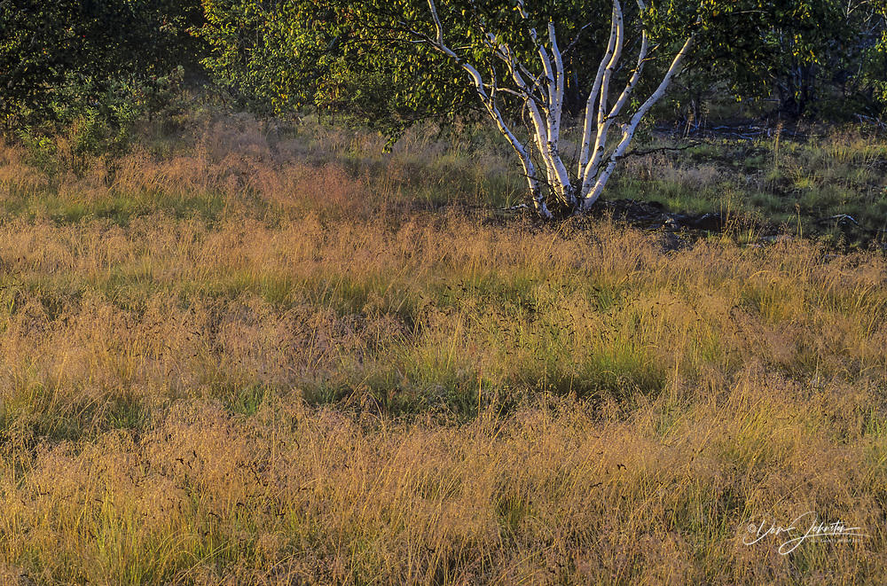 Dewy grasses and birch tree in meadow, Greater Sudbury, Ontario, Canada