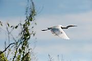 Snowy Egret (Egretta thula)<br /> Savannah, Rupununi<br /> GUYANA<br /> South America<br /> RANGE: Southwestern United States to South America.