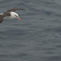 A black-browed albatross soars over South Atlantic Ocean near South Georgia.