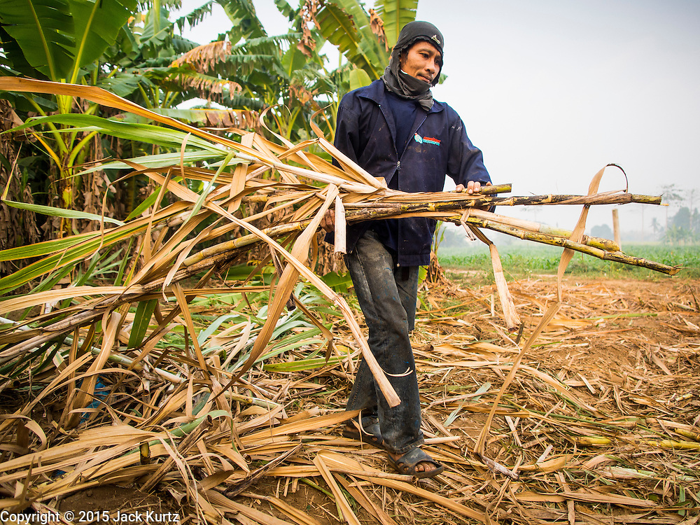 09 FEBRUARY 2015 - THA MAI, KANCHANABURI, THAILAND: A worker carries away stalks of sugarcane after a mechanical harvester clear cut the field in Kanchanaburi, Thailand. Thailand is the world's second leading sugar exporter after Brazil. The 2015 sugarcane harvest in Thailand is expected to fall about 5% compared to the 2014 harvest because of a continuing drought in Southeast Asia. Brazilian production is also expected to fall this year because of ongoing drought in Brazil. Australia, the number 3 sugar exporter, is also expected to see a smaller harvest this year because of continuing draught in Australia.   PHOTO BY JACK KURTZ