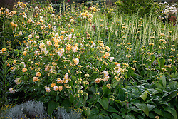 Rosa 'Buttercup' syn. 'Ausband' with phlomis and Digitalis lutea