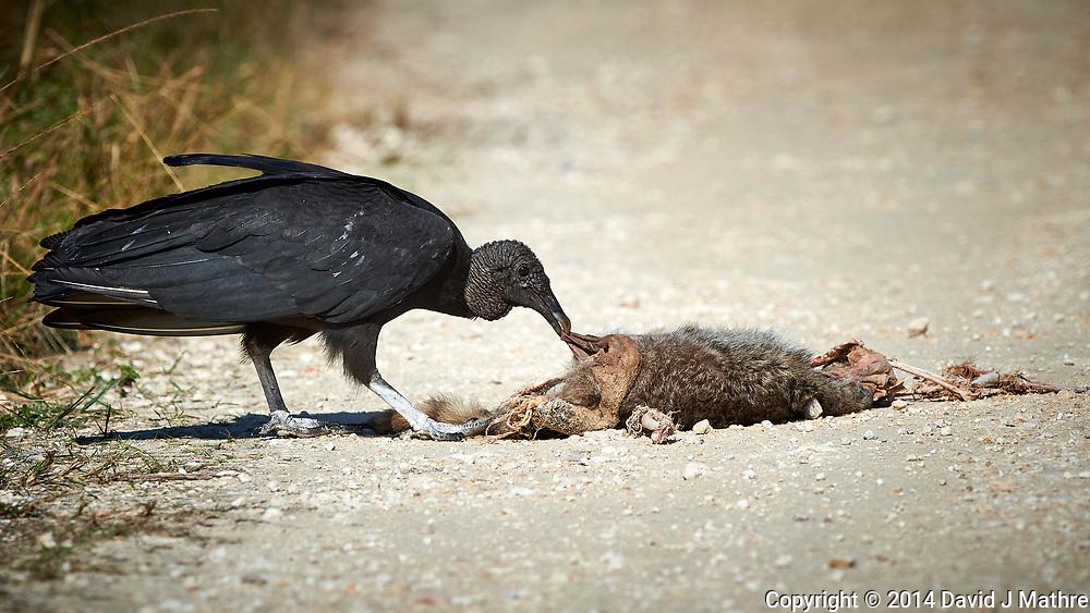 Black Vulture feeding on a road-killed mammal. Biolab Road, Merritt Island National Wildlife Refuge. Image taken with a Nikon D4 camera and 500 mm f/4 VR lens (ISO 400, 500 mm, f/8, 1/2000 sec).