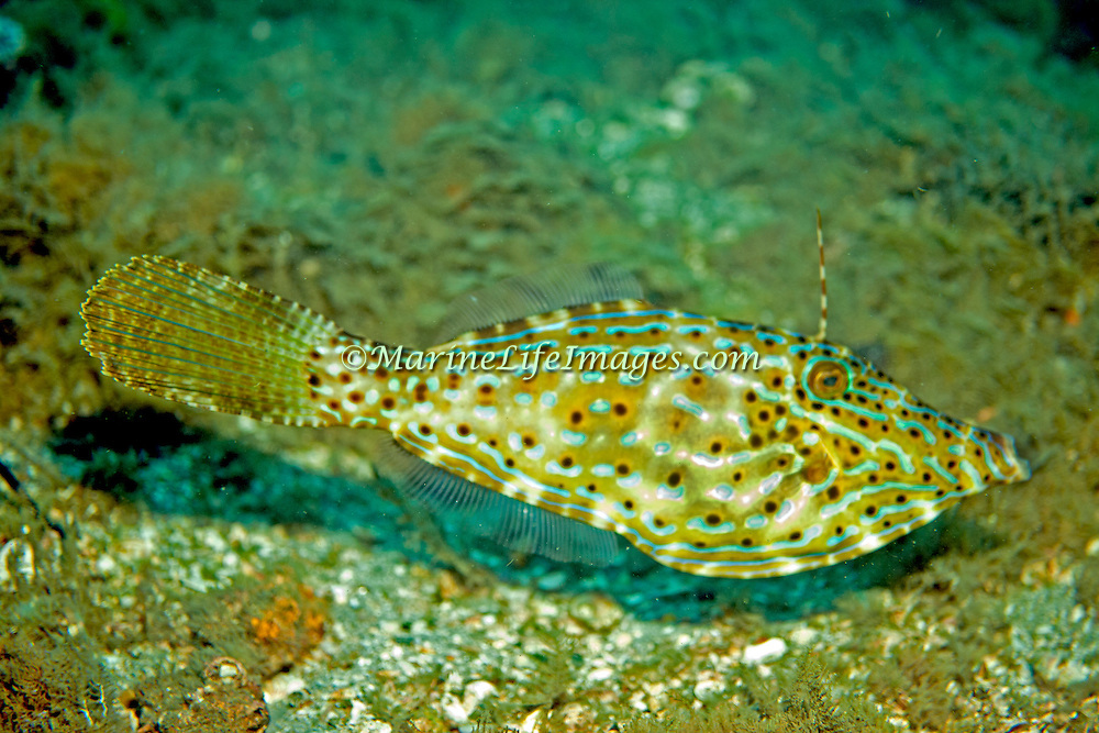 Scrawled Filefish drift over reefs and rocky bottoms with abundant gorgonian growths in Tropical West Atlantic and cirumtropical; picture taken Blue Heron Bridge, Palm Beach, FL.