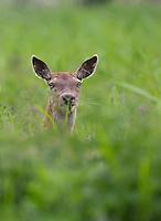 Red deer (Cervus elaphus) hind (female) Oostvaardersplassen, Netherlands. Mission: Oostervaardersplassen, Netherland, June 2009.