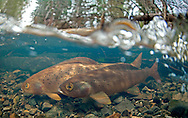 Arctic Grayling Spawning<br /> <br /> Patrick Clayton/Engbretson Underwater Photography