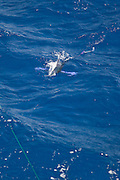 Swimming White Marlin stalking and eating trolling bait.