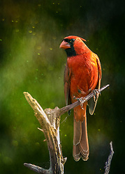 A Male Northern Cardinal Perched On A Tall Bare Tree Branch