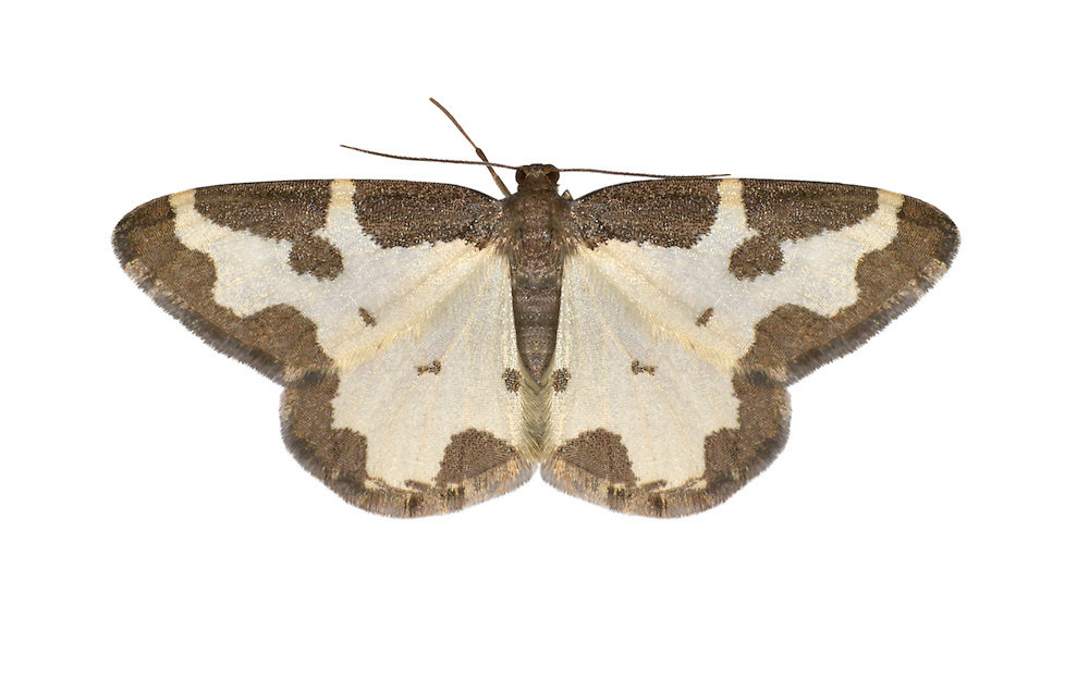 70.207 (1887)<br /> Clouded Border - Lomaspilis marginata
