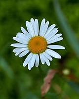 Daisy Like Wildflower. Image taken with a Leica CL camera and 60 mm f/2.8 lens