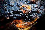 Carp fish in a wading pool of Nha Trang, Vietnam, Southeast Asia