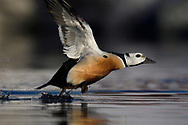 Steller's eider duck, male, Polysticta stelleri, Varanger Peninsula, Norway, Scandinavia