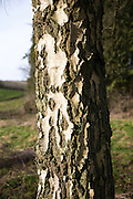 Trunk of Silver Birch tree, Betula pendula, UK
