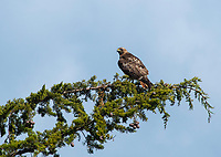 Red-tailed Hawk, Buteo jamaicensis, Sonoma County, California
