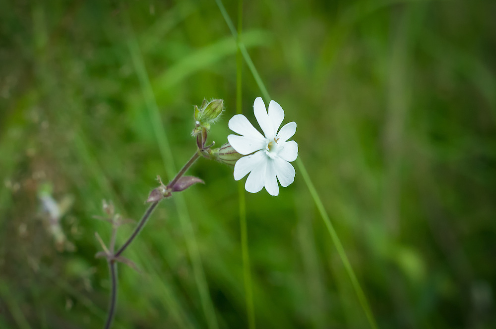A widespread North American naturalized wildflower that orginates from the Old World, the white campion is a summer bloomer that is found often in disturbed areas. This one was photographed<br />