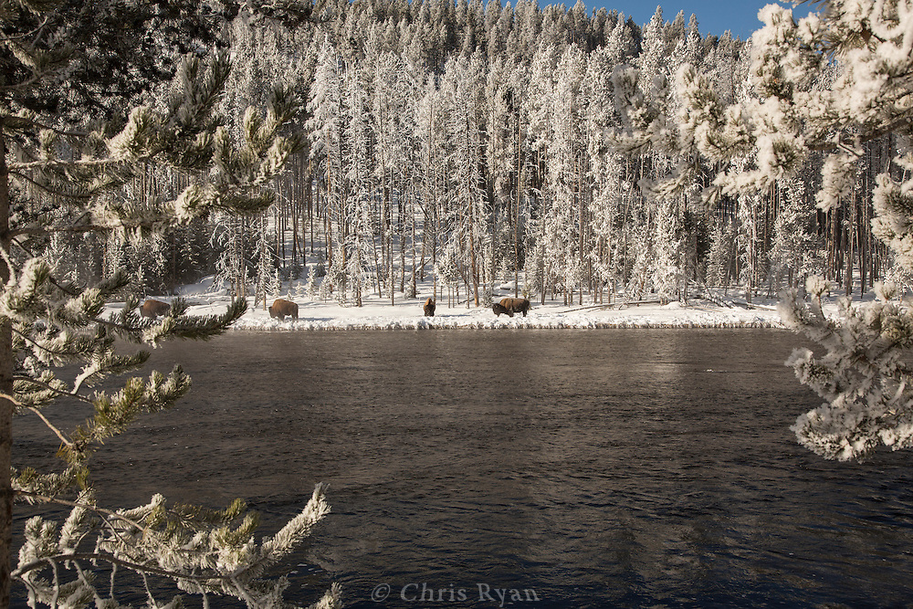 Bison by the Firehole River, Yellowstone National Park