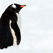A Gentoo penguin (Pygoscelis papua) stands on the clean white snow at Neko Harbour on the Antarctic Peninsula.