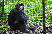 Close-up portrait of a chimpanzee (Pan troglodyte) sitting on the forest floor, ,Kibale National Park, Uganda, Africa