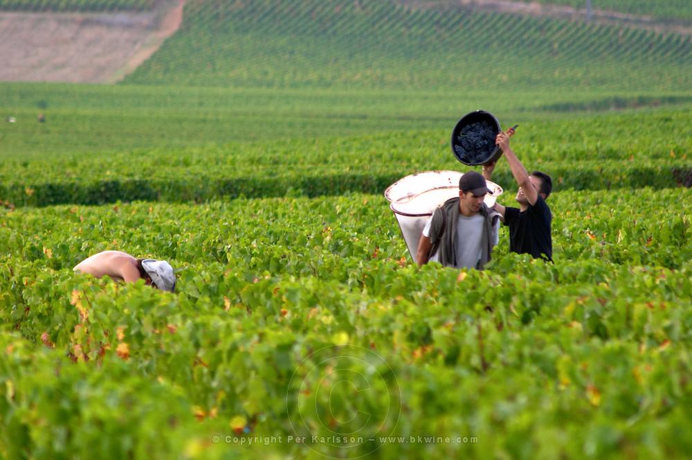 pinot noir harvesting vineyard beaune cote de beaune burgundy france