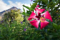 Hibiscus and Arenal Volcano, Arenal Tilaran Conservation Area, Costa Rica.