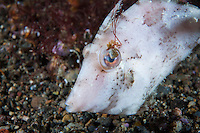 A Filefish has a parasitic algae growth on its eye<br /> <br /> Shot in Indonesia