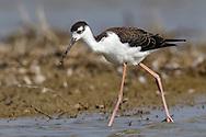 Black-necked Stilt - Himantopus mexicanus - Juvenile