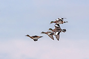 American Wigeon Courtship Flight