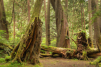 Coastal Rainforest Olympic National Park