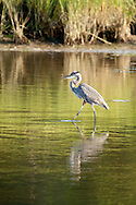 A great blue heron stalking prey in shallow water.