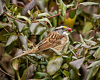 White-throated Sparrow with a red berry. Backyard winter nature in New Jersey. Image taken with a Nikon D2xs camera and 80-400 mm VR lens (ISO 400, 400 mm, f/6, 1/160 sec)