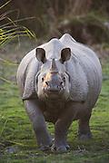 A front close up of an Indian rhinoceros ( Rhinoceros unicornis ) approaching , Kaziranga National Park, Assam, India