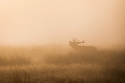 © Licensed to London News Pictures. 01/10/2016. London, UK. A Red Deer stag seen through the mist at sunrise in Richmond Park. Photo credit: Rob Pinney/LNP