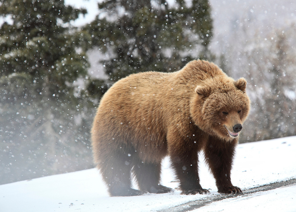 Denali National Park, grizzly bear on the  road with snowflakes,