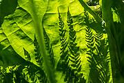 Fern shadows on backlit skunk cabbage leaf. Skunk Cabbage Trail, Revelstoke National Park, British Columbia, Canada.