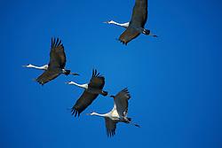 Sandhill Cranes (Grus canadensis) in flight.