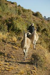 Man With Alpaca